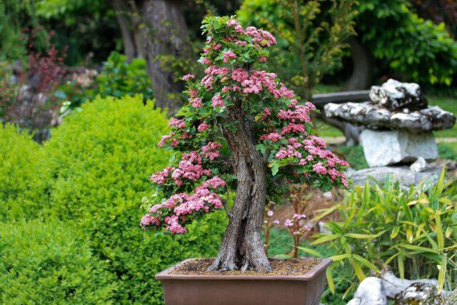 bonsai-3125717_1920