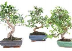 pb-bonsai-collection